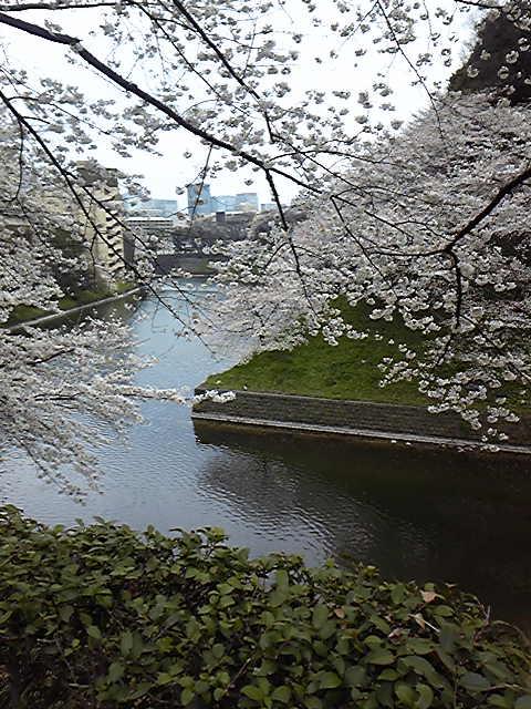 千鳥ケ淵の桜を愛でました。